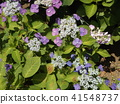 上色夏天八仙花属花的蓝色花 41548737