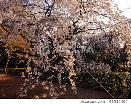 京都御所 京都的皇宮 京都御所花園 41552493