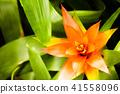 熱帶植物gusmania 41558096