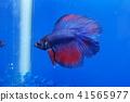 宠物 鱼 水族馆 41565977
