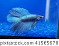 宠物 鱼 水族馆 41565978