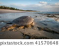 Female Green sea turtle on the beach. 41570648