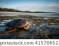 Female Green sea turtle on the beach. 41570652