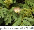 자귀 나무 꽃의 사진을 찍을 수있었습니다 41570848