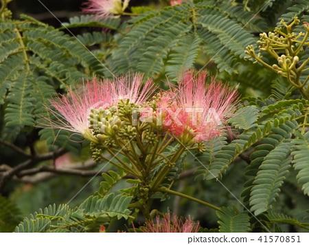 자귀 나무 꽃의 사진을 찍을 수있었습니다 41570851