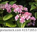 桃色的八仙花属花着色夏天 41571653