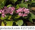 桃色的八仙花屬花著色夏天 41571655