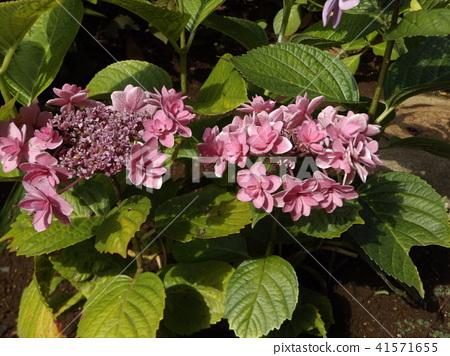 桃色的八仙花属花着色夏天 41571655