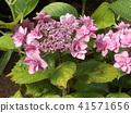 桃色的八仙花属花着色夏天 41571656