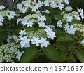 着色夏天五颜六色的八仙花属花的天蓝色天空 41571657