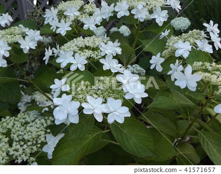 著色夏天五顏六色的八仙花屬花的天藍色天空 41571657