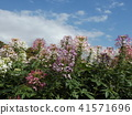 cleome, annual plant, bloom 41571696