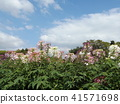 cleome, annual plant, bloom 41571698