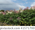 cleome, annual plant, bloom 41571700