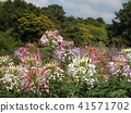 cleome, annual plant, bloom 41571702