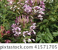 cleome, annual plant, bloom 41571705