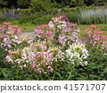 cleome, annual plant, bloom 41571707