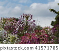 cleome, annual plant, bloom 41571785
