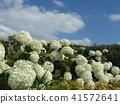 annabel, hydrangea, bloom 41572641