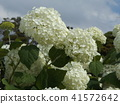 annabel, hydrangea, bloom 41572642
