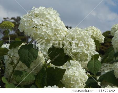 하이드 란 지아 애너벨라는 수국의 흰 꽃 41572642