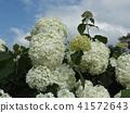 annabel, hydrangea, bloom 41572643