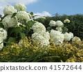 annabel, hydrangea, bloom 41572644