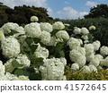 annabel, hydrangea, bloom 41572645