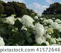 annabel, hydrangea, bloom 41572646