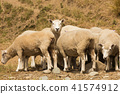 Cute baby sheep looking at 41574912