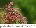 sparrow, small bird, nomura maple 41579215