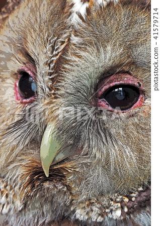 Owl 41579714