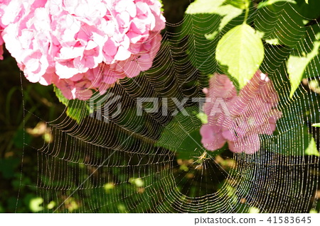 蜘蛛網 繡球花 蜘蛛 41583645