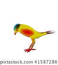 rare passerine bird, Saxicola insignis red abdomen 41587286