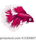Cartoon pink betta fish, siamese fighting fish, betta splendens or Halfmoon betta isolated on white 41589887