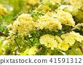 꽃, 플라워, 장미 41591312