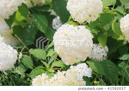 Annabelle flowers 41592037