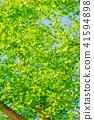 【도쿄】 신록의 은행 나무 41594898