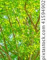 【도쿄】 신록의 은행 나무 41594902