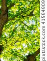 【도쿄】 신록의 은행 나무 41594909