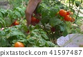 Young woman picking red cherry tomatoes and putting them into bowl. By bed in garden. 41597487