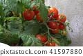 Close up of harvesting ripe red cherry tomatoes. By a bed in the garden. 41597880