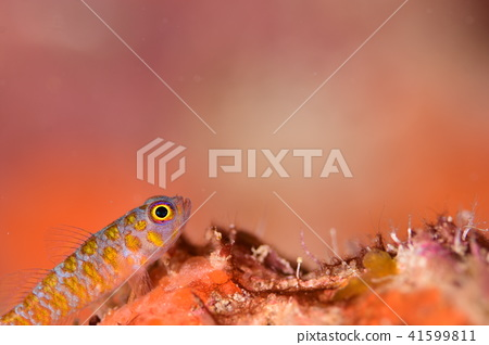 바닷물고기, 어류, 망둥이 41599811
