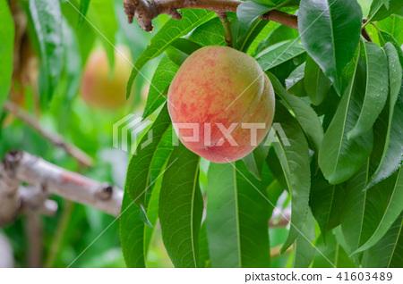 桃子 水蜜桃 桃 41603489