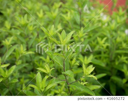 藥草 植物 植物學 41605272