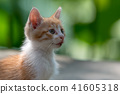 Ginger kitten in a garden 41605318
