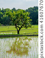 rice field, paddy field, summer 41607670