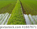 rice field, paddy field, summer 41607671