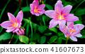 bloom, blossom, blossoms 41607673