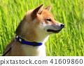 Shiba Inu 41609860